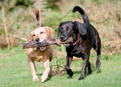 2 honden met 1 bot